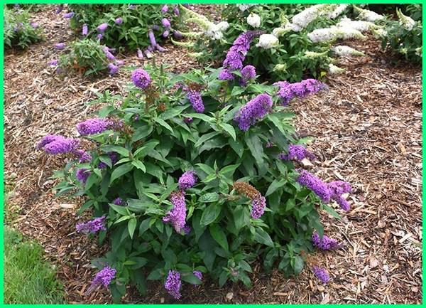 tanaman untuk pagar rumah minimalis, tanaman pagar cantik, tanaman cantik untuk pagar, tanaman pagar pot