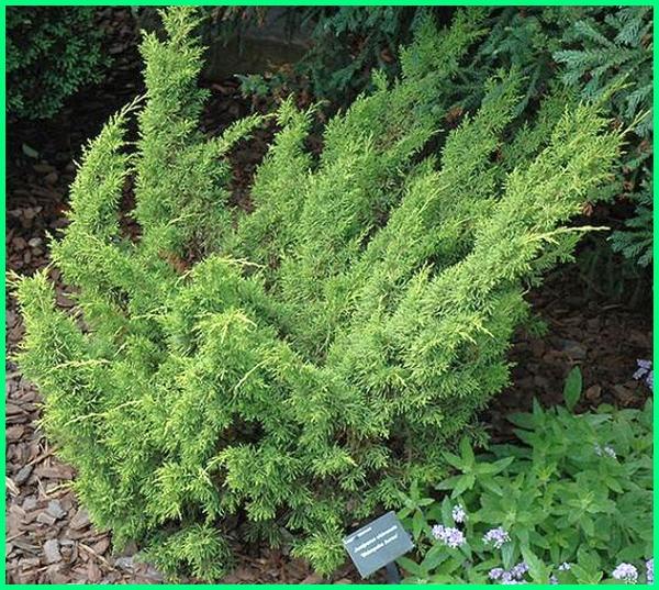 jenis jenis tanaman pagar, jenis tanaman pengganti pagar, jenis tanaman pagar rumah, jenis tanaman untuk pagar rumah, tanaman pagar mirip cemara