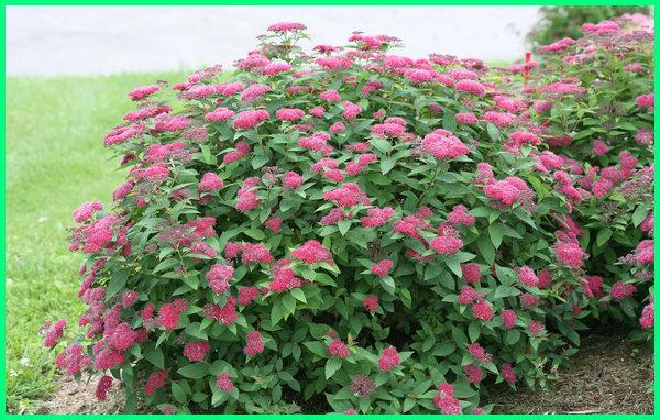 jenis tanaman yang bisa dijadikan pagar, jenis tanaman hias untuk pagar rumah