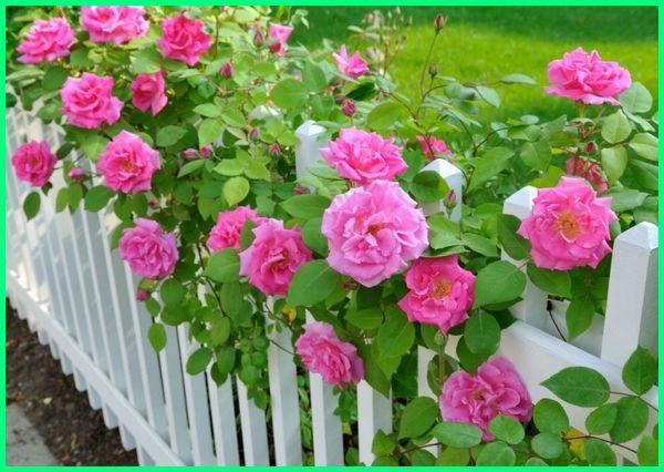 tanaman pinggir pagar, tanaman pagar rumah yang baik, tanaman sebagai pagar, tanaman serut pagar, pagar tanaman sederhana, tanaman pagar terbaik, tanaman pagar yang bagus, tanaman pagar yang bermanfaat