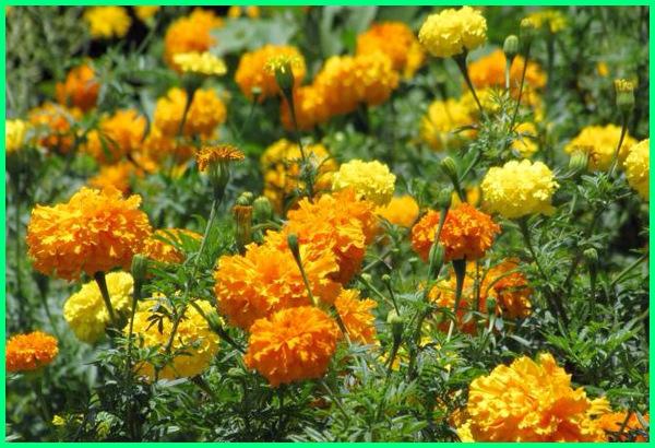 tanaman pengusir ular, tanaman anti ular, tanaman penghalau ular, tanaman anti ular berbisa, tanaman ditakuti ular, tanaman yang dihindari ular, tanaman yang paling ditakuti ular, marigold