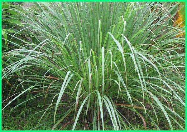 tanaman halau ular, tanaman pengusir semua jenis ular, tanaman pengusir ular kobra, tanaman mengusir ular, tanaman untuk mengusir ular, tanaman yang mengusir ular, tanaman untuk menghalau ular