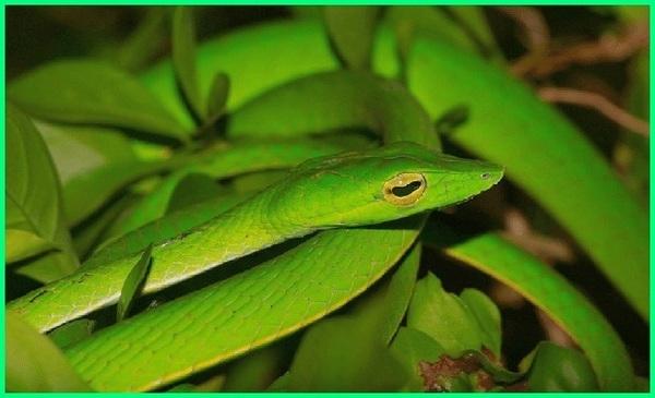 jenis-jenis ular yang ada di sawah, ular sawah, jenis ular sawah, macam ular sawah berbisa sedang, ular totog, oray totog katanya,