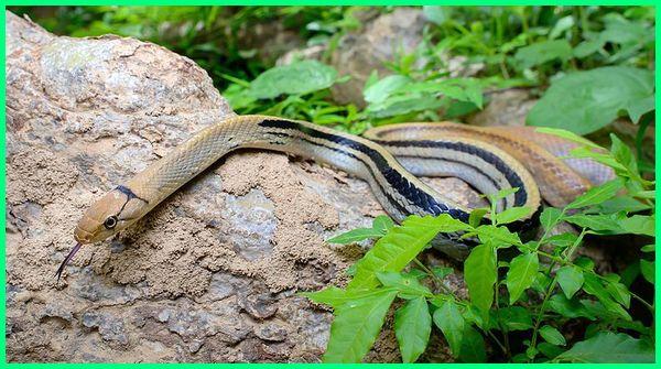 ular sapi sunda kecil, ular sapi lanang, ular sapi tidak berbisa, ular sapi bisa besar