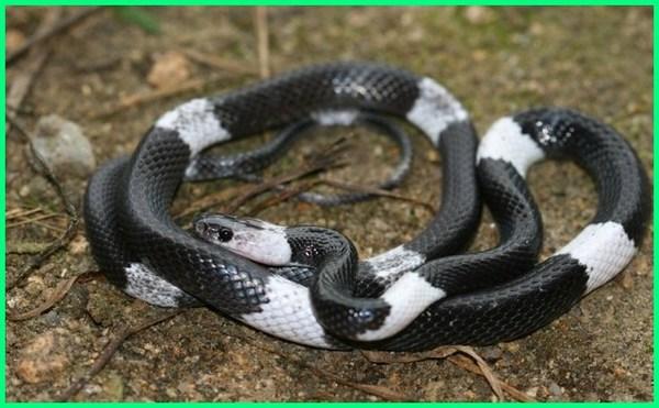 ular sawah belang