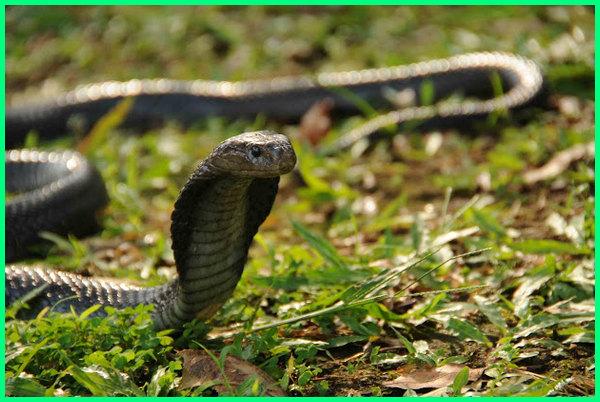 ular sawah hitam, ular sawah adalah, ular cobra sawah, ular sawah di jawa, ular di sawah padi, foto ular sawah, ular sawah indonesia, jenis ular sawah berbisa, ular sawah kobra