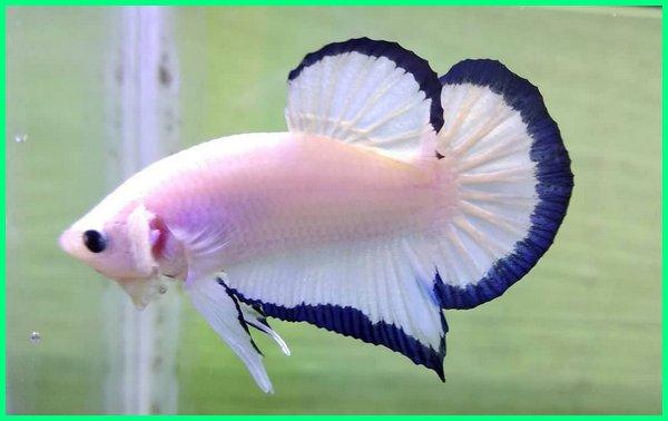 Ikan Cupang Plakat Cupang Aduan Termahal Di Indonesia Dunia Fauna Hewan Binatang Tumbuhan