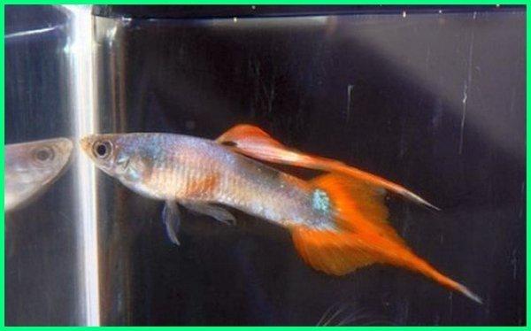 ikan guppy ekor tajam, ekor ikan guppy kuncup