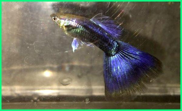 jenis ikan guppy hitam ungu, jenis ikan guppy ungu, purple guppy
