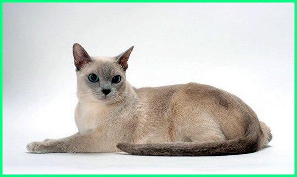 jenis kucing yang bulunya gk rontok, jenis kucing yang bulunya tidak mudah rontok
