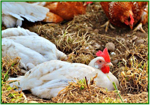 bagaimana cara ternak ayam petelur, bagaimana cara beternak ayam petelur, cara ternak ayam petelur skala kecil, cara ternak ayam petelur rumahan, cara ternak ayam petelur yang baik dan benar, cara ternak ayam petelur kampung, cara ternak ayam petelur umbaran, cara ternak ayam petelur dari kecil, cara ternak ayam petelur yang baik
