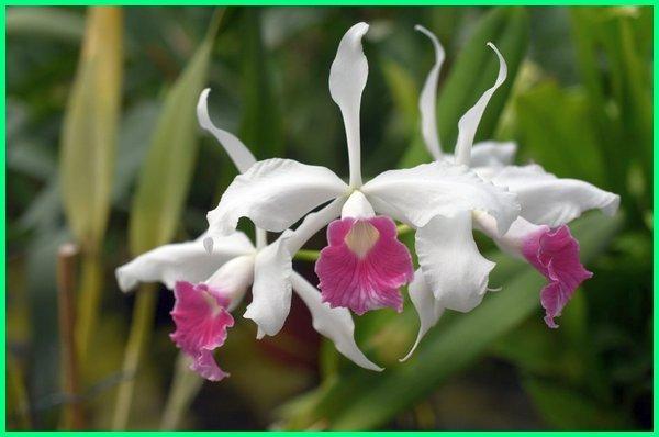 jenis anggrek bunga besar, bagaimana varian jenis bunga anggrek, bagaimana variasi jenis bunga anggrek, jenis bunga anggrek dan ciri cirinya, jenis bunga anggrek dan gambarnya, jenis daun bunga anggrek, nama dan jenis bunga anggrek, jenis 2 bunga anggrek, foto jenis bunga anggrek