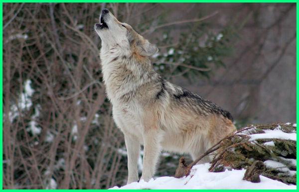 hewan apa yang berisik, hewan paling berisik, hewan yang berisik