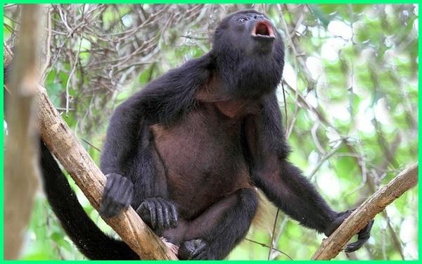 hewan suara paling keras, hewan dengan suara paling keras, hewan bersuara paling keras, suara binatang paling keras