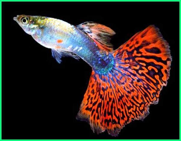 Fire Tail Guppy ikan guppy ekor api