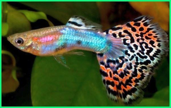 fancy guppy types, fancy guppy fish, fancy guppy aquarium, the fancy guppy, the fancy guppy fish