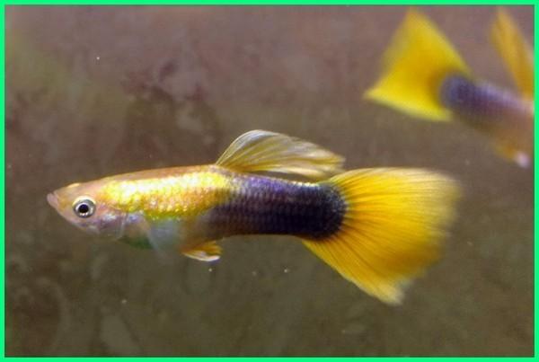 jenis ikan guppy kuning dan hitam