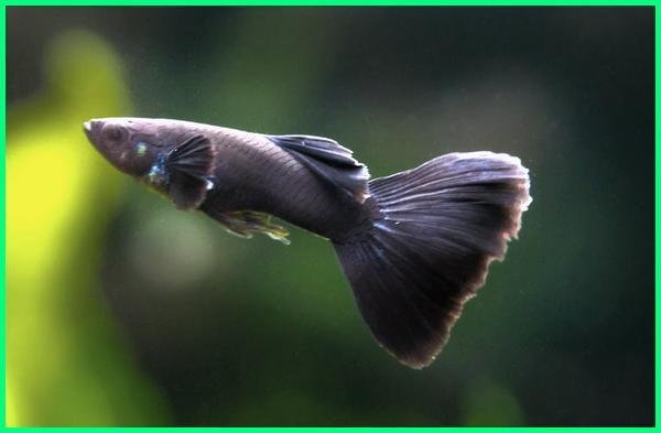 jenis ikan guppy berwarna hitam