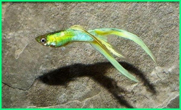 ikan guppy paling bagus, ikan guppy terbagus, ikan guppy bagus, ikan guppy paling terkeren, keren