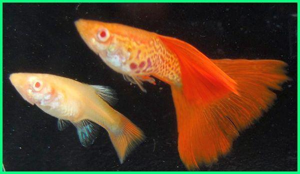 red guppy albino, albino red eye guppy, ikan guppy albino mata merah