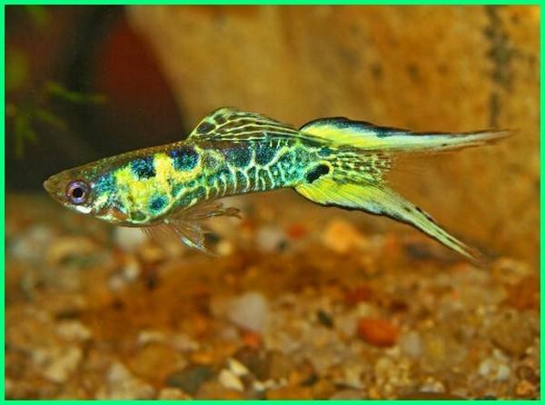 ikan guppy ekor pendek yang bagus, ekor ikan guppy paling bagus