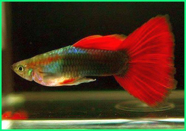 ikan guppy banyak warna