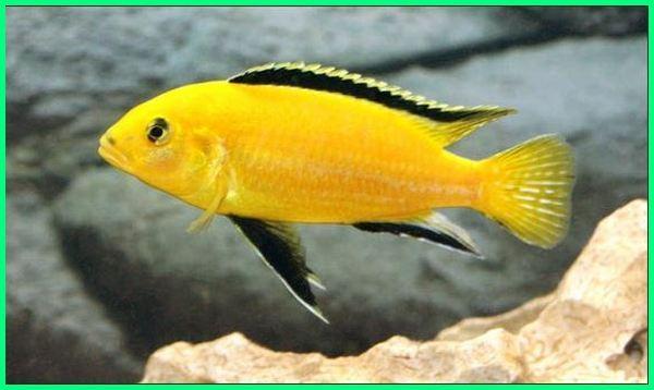 ikan lemon air tawar,ikan lemon aquarium, ikan lemon cichlid, jenis ikan hias air tawar, ikan hias air tawar cantik, ikan hias air tawar indah
