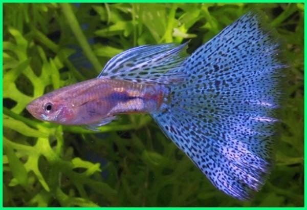 jenis corak ikan guppy