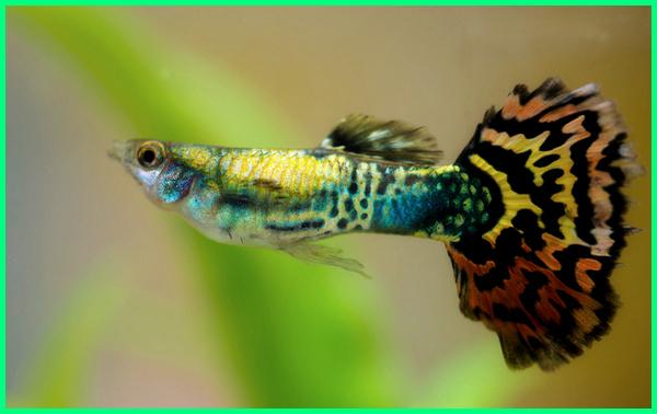 jenis ikan guppy berdasarkan ekornya
