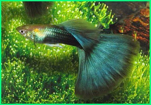 jenis 2 ikan guppy, foto jenis ikan guppy, gambar jenis ikan guppy, gambar semua jenis ikan guppy