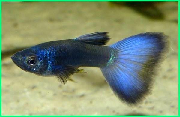 jenis ikan guppy blue, jenis ikan guppy beserta gambarnya