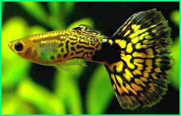 guppy cobra yellow, ikan guppy kobra, cobra guppy, ikan gapi kobra