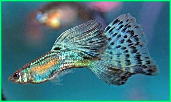 nama dan jenis ikan guppy, jenis 2 ikan guppy, foto jenis ikan guppy, gambar jenis ikan guppy, gambar semua jenis ikan guppy