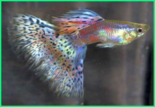 40 Jenis Ikan Guppy Yang Bagus Beserta Keterangan Dan Gambarnya Dunia Fauna Hewan Binatang Tumbuhan Dunia Fauna Hewan Binatang Tumbuhan