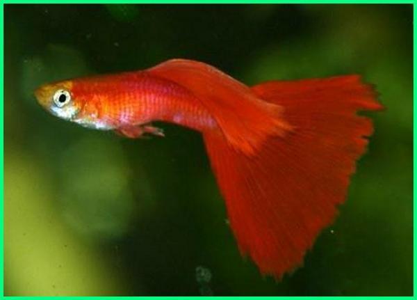 red guppy, ikan guppy merah, jenis ikan guppy berwarna merah, guppy warna merah