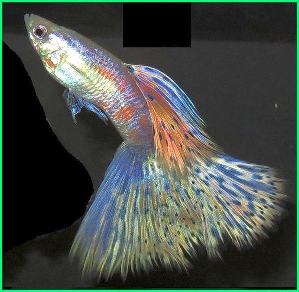 berapa jenis ikan guppy, nama jenis guppy