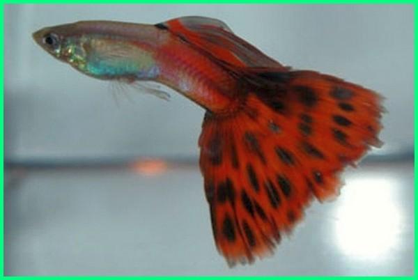 foto jenis ikan guppy, gambar jenis ikan guppy, gambar semua jenis ikan guppy, jenis ikan guppy hias, jenis jenis ikan guppy import
