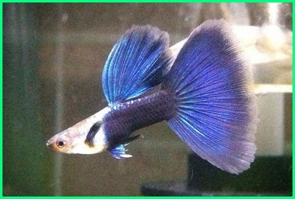 gambar semua jenis ikan guppy, jenis ikan guppy hias, ikan guppy gambar dan namanya