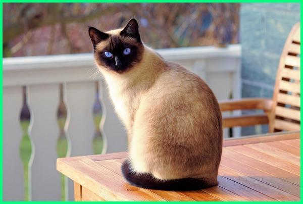 bulu kucing tidak rontok, agar bulu kucing tidak rontok dan lebat, kucing ga rontok, jenis kucing bulu tidak rontok