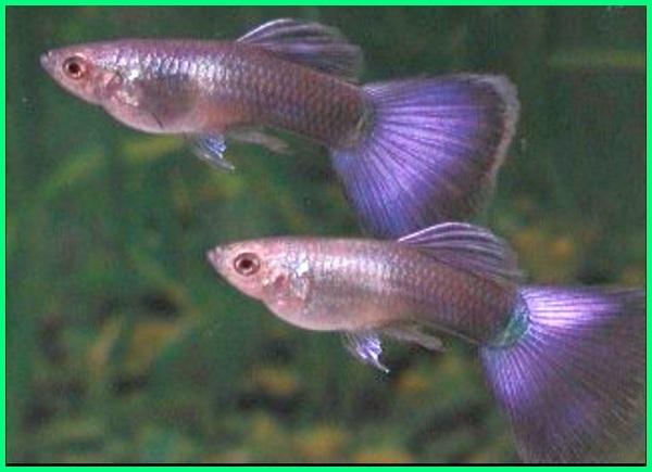 ikan guppy warna ungu