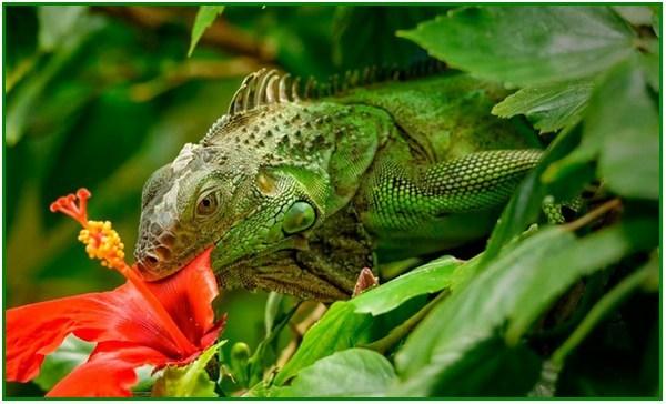 apa makanan iguana dan bunglon, apakah makanan iguana hijau, makanan iguana hijau, makanan bayi iguana hijau, jenis makanan iguana hijau, iguana makan kacang hijau