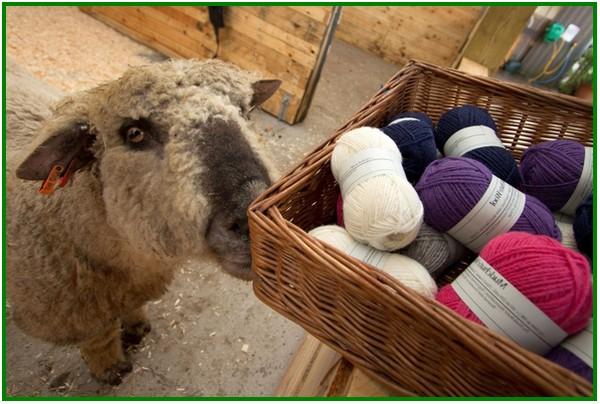 produk bulu domba, produk susu domba thailand, produk dari domba, produk cream susu domba, produk dari bulu domba, produk kerajinan dari bulu domba, produk kreatif dari ternak domba, produk susu domba