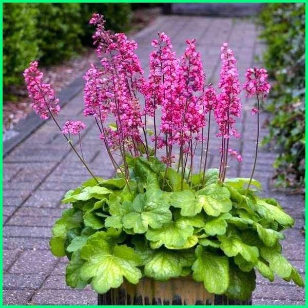 Tanaman bunga hias Bunga Heuchera/ Coral Bell
