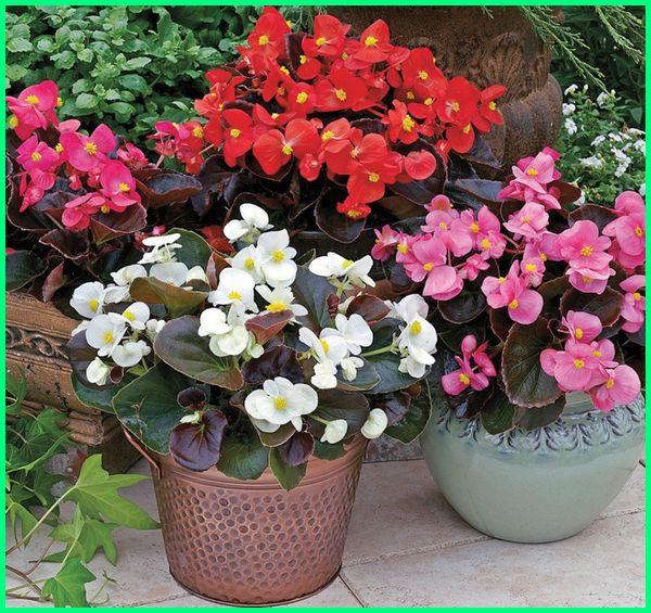 Tanaman bunga hias Bunga Begonia