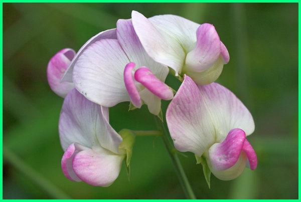apa itu tanaman hias bunga, pengertian dari tanaman hias bunga, contoh dari tanaman hias bunga, nama tanaman hias bunga dan gambarnya