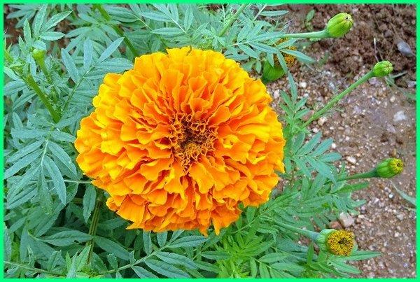 tanaman hias bunga gambar dan penjelasannya