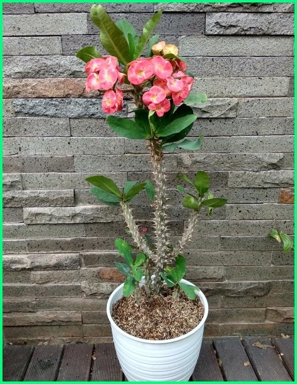 tanaman hias bunga euphorbia, klasifikasi tanaman hias bunga euphorbia, foto tanaman bunga hias, fungsi tanaman hias bunga, jenis tanaman hias bunga dan fungsinya, tanaman hias bunga indoor dan outdoor, identifikasi tanaman hias bunga, gambar tanaman hias bunga beserta nama latinnya