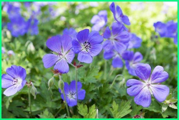 tanaman hias bunga harum