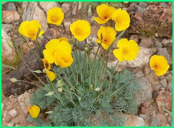 tanaman hias bunga beserta ciri-cirinya, tanaman hias bunga beserta penjelasannya, tanaman hias bunga contohnya, tanaman hias bunga cantik, tanaman hias bunga contoh
