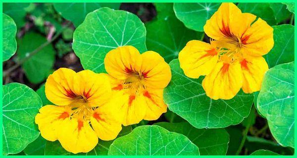 tanaman hias bunga cantik, tanaman hias bunga contoh, tanaman hias bunga dan ciri cirinya, tanaman hias bunga dan cara perbanyakannya